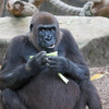 Seven Facts about Gorillas