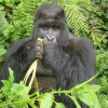 "Appreciating Dian Fossey and Jane Goodall, the ""Queens"" of Primatology"