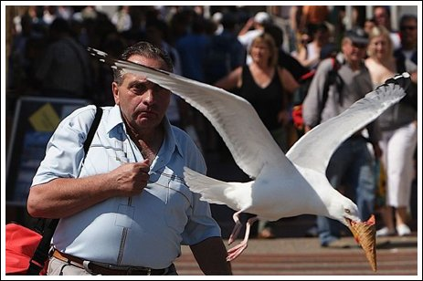 Seagulls 1 Ice cream thieves!