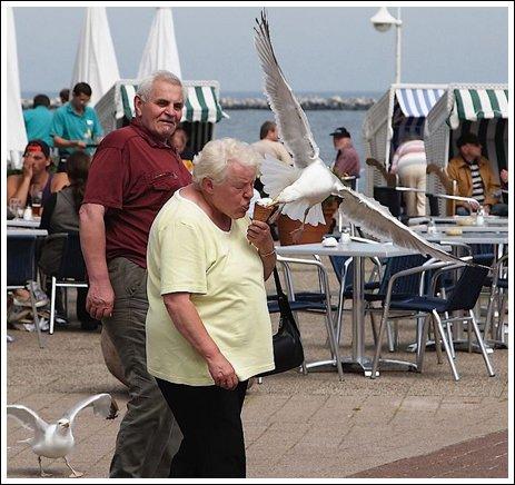 Seagulls 12 Ice cream thieves!