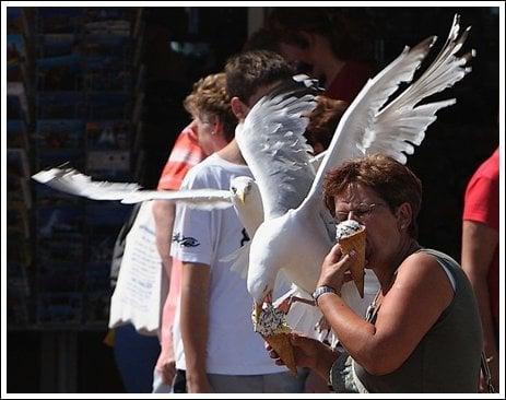 Seagulls 9 Ice cream thieves!