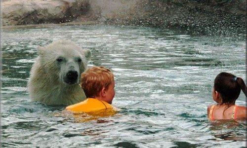 polarbear-swim-1
