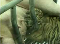 tiger-pig-1