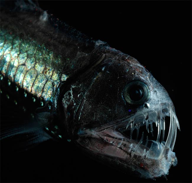 7 unusual deep sea creatures animals zone for Deep sea fish