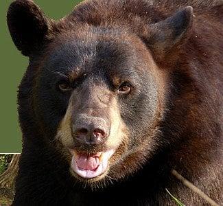 black-bear-1