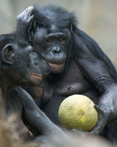Wild Animal Bonobo animals zone Animals Pictures  Bonobo