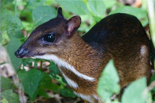 mouse deer 12 Unusual Cute Animal