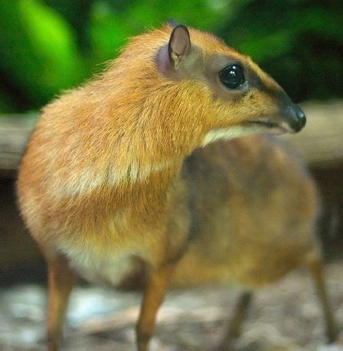mouse deer 13 Unusual Cute Animal