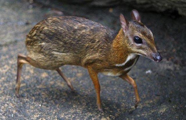 mouse deer 16 Unusual Cute Animal