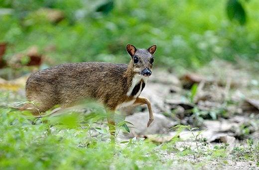 鼠鹿:这个小动物不一般!