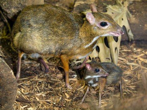 mouse deer 3 Unusual Cute Animal