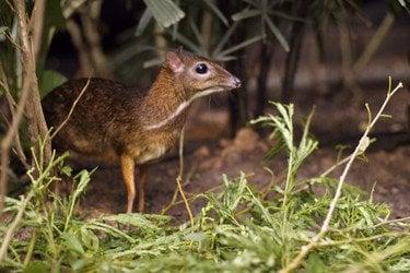 mouse deer 71 Unusual Cute Animal