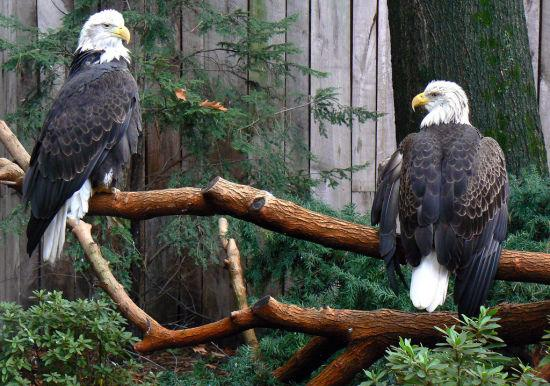 Bald eagles Lovely Animal Couples