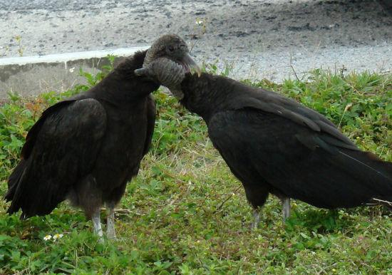 Black vultures Lovely Animal Couples