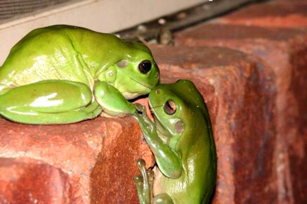 FROGS Lovely Animal Couples