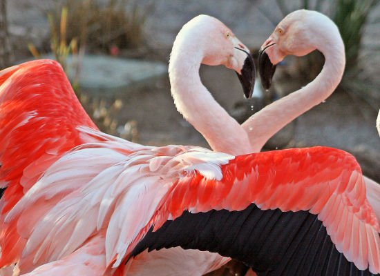 Flamingos Lovely Animal Couples
