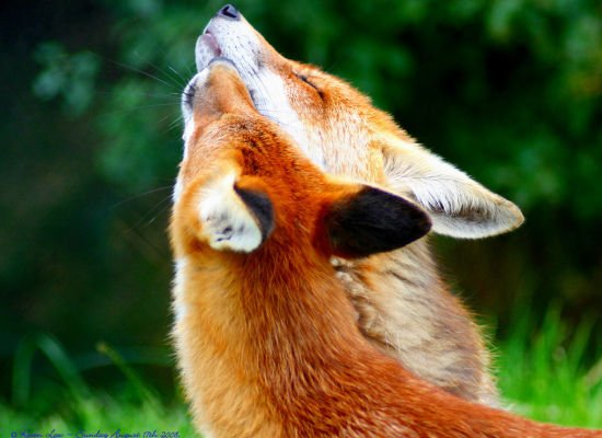 Foxes Lovely Animal Couples