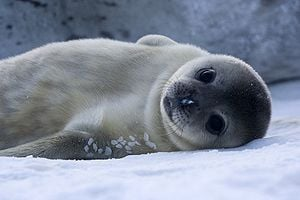 Leopard seal 1 Cute animals that can be really dangerous