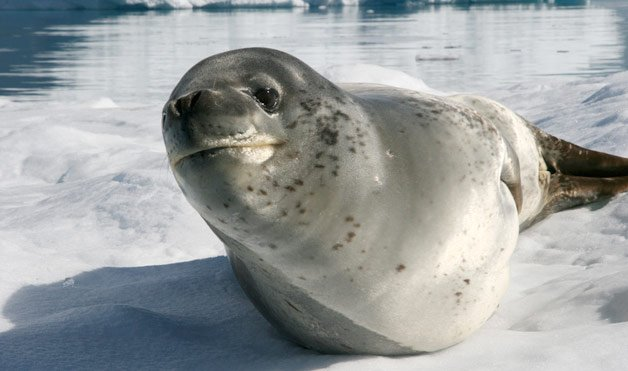 Leopard seal 2 Cute animals that can be really dangerous