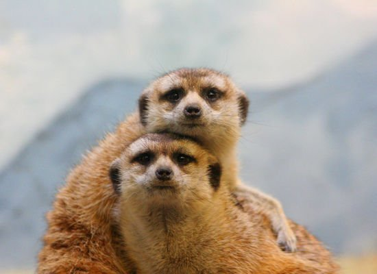 Meerkats Lovely Animal Couples