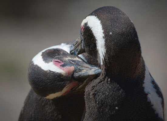 Penguins Lovely Animal Couples