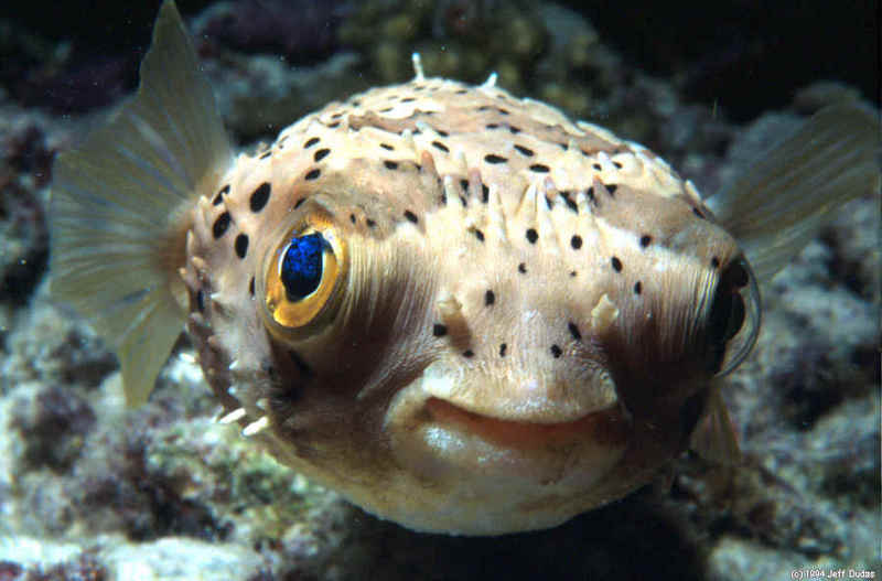 Puffer fish 2 Cute animals that can be really dangerous