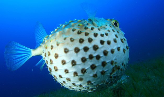 Cute animals that can be really dangerous animals zone for Puffer fish images