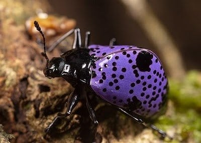 Purple Beetles 1 10 Amazing Purple Animals