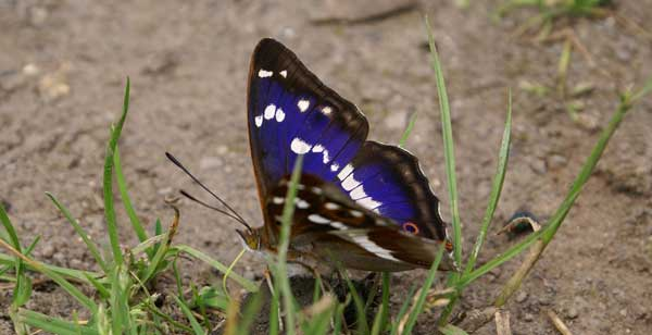 Purple Emperor Butterfly 3 10 Amazing Purple Animals