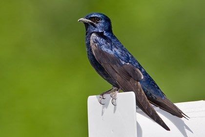 Purple Martin 1 10 Amazing Purple Animals