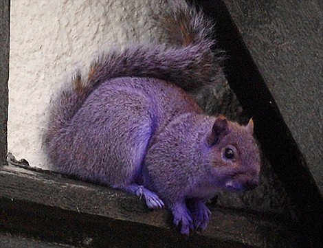 Purple Squirrel 1 10 Amazing Purple Animals