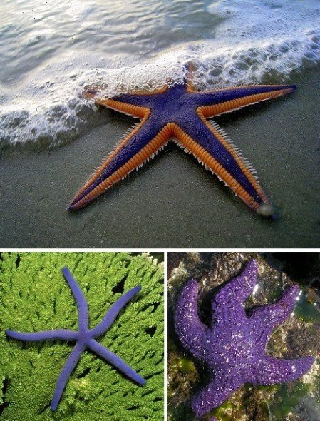 Purple Starfish 1 10 Amazing Purple Animals