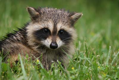 Raccoon 2 Cute animals that can be really dangerous