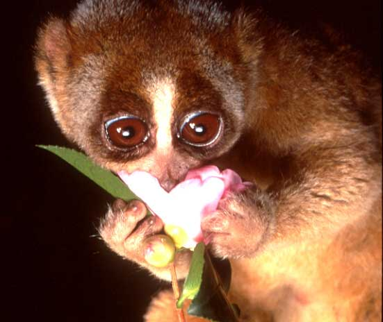 Slow Loris 1 Cute animals that can be really dangerous