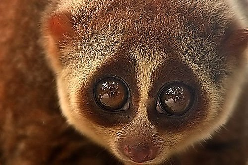 Slow Loris 2 Cute animals that can be really dangerous