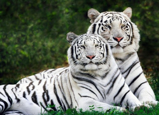 White Tigers Lovely Animal Couples