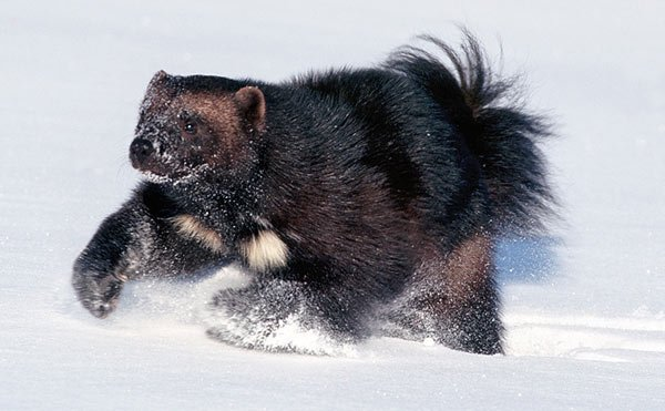 Wolverine 1 Cute animals that can be really dangerous