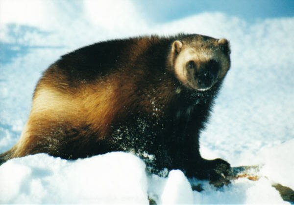 Wolverine 2 Cute animals that can be really dangerous