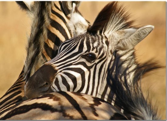 Zebras Lovely Animal Couples