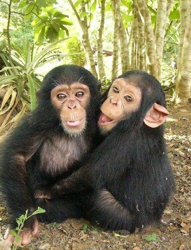 chimpanzee 1 Cute animals that can be really dangerous