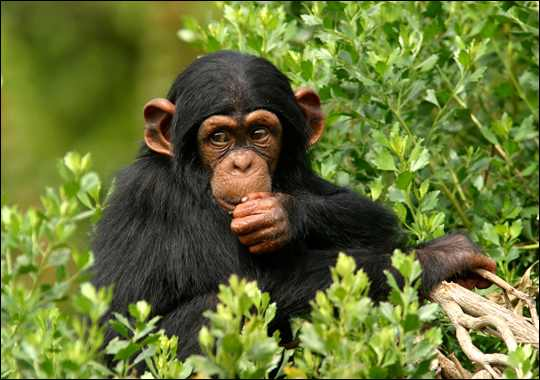 chimpanzee 2 Cute animals that can be really dangerous