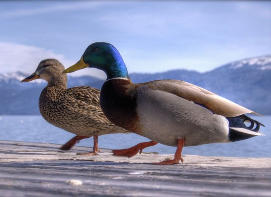 mallard ducks Lovely Animal Couples
