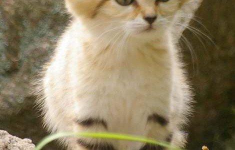 sand-cat-kittens-1