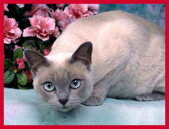 15 Most Popular Cat Breeds Animals Zone
