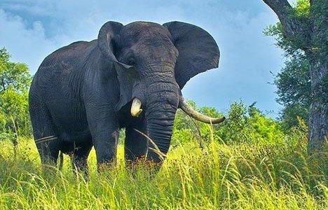 African-Elephants-1