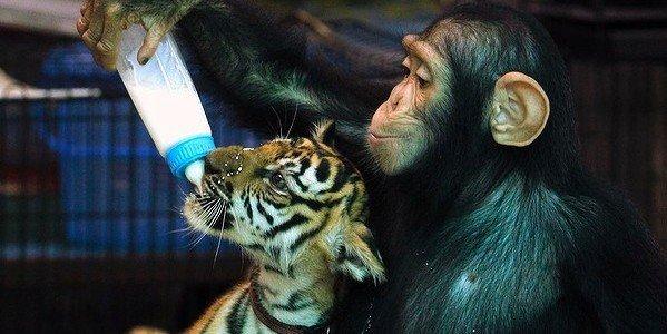 gorilla-loves-tiger-1
