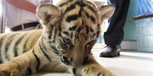 tiger-cub-in-luggage-1