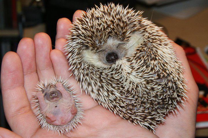 BabyHedgehog Hedgehogs can be sooo cute!