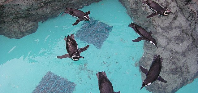 Penguins swimming in circles