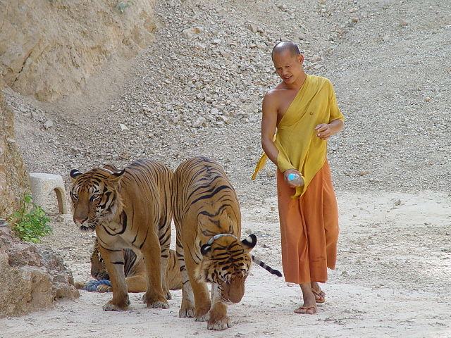 Tigers and Buddhist Monk Live Together in Thailand's Tiger ...